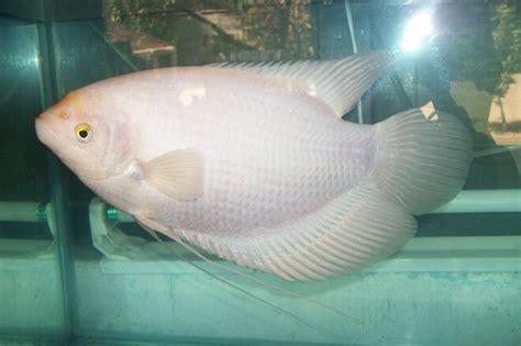 Ikan Gurame Padang Besar 18 jenis ikan hias yang dapat kalian pelihara dirumah