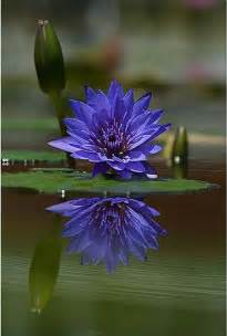 Blue Lotus Pictures Scent Wise