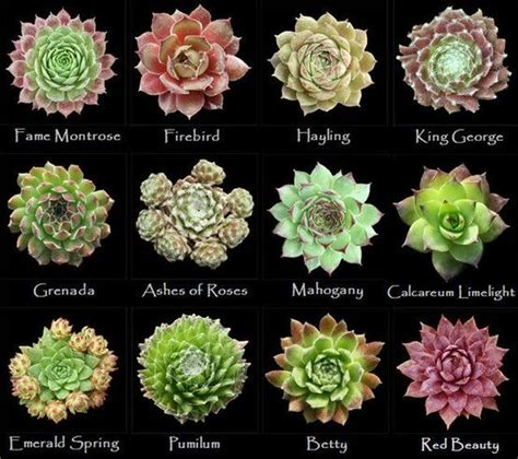 assorted types of succulents 5 in the garden pinterest king george types of succulents