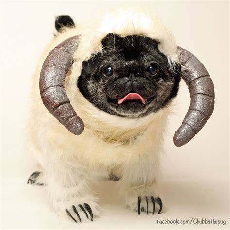 chubbs the pug 11 pets in wars costumes that are even cuter than