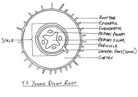 transverse section of plant root my broken garden cross section of young dicot root