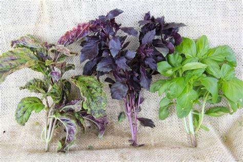 piantare il basilico in vaso coltivare basilico aromatiche consigli per la