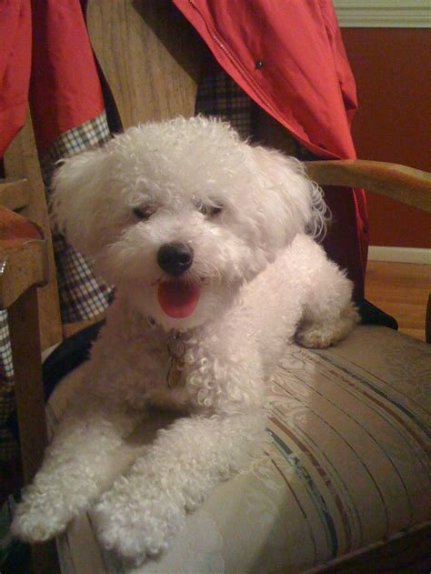 bichon poo haircuts 47 best images about poochon on pinterest poodles