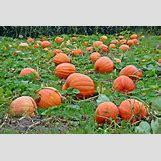 Pumpkins Growing   399 x 266 jpeg 16kB