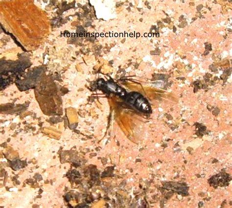 carpenter ants in house carpenter ants in house home pest carpenter ant