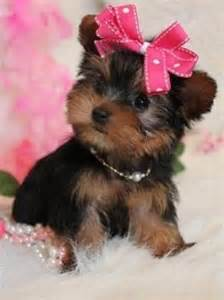 yorkie teacup 17 best images about yorkies on tiny puppies yorkie for sale and tvs