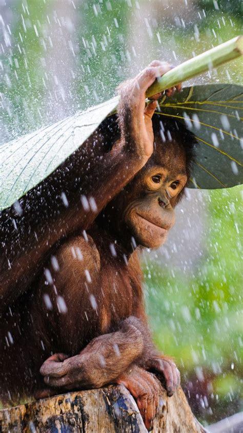 wallpaper orangutan bali rain monkey  sony world