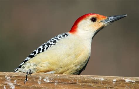 woodpeckers boom probably because of invasive pest