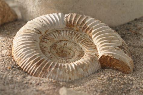 imagenes de fosiles rocas y fosiles informacion adicional
