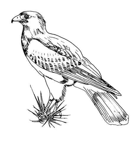 texas bird coloring page tpwd kids color the harris hawk