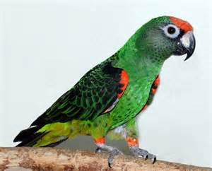the jardine s parrot is one of my favorite species these
