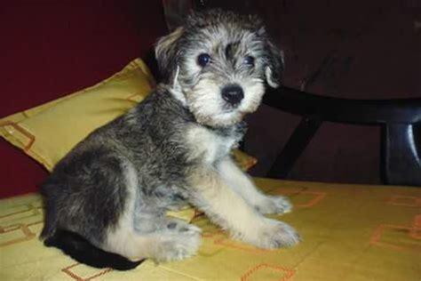 fotos de perros shih tzu miniatura no quiere comer comidas para perros y esta deca 237 da barkibu pe