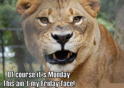 Lion Meme - lion meme face monday funny pinterest