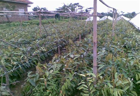 Bibit Induk Durian Bawor bibit unggul durian sentra pembibitan durian montong