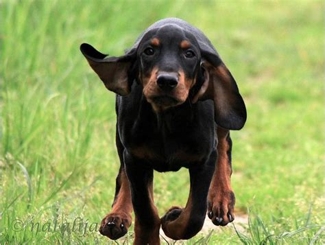 black and coonhound puppy american black and coonhound my style pinboard