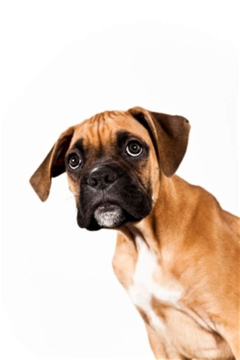 puppy cries when i leave the room how to a boxer puppy thedogtrainingsecret the secret