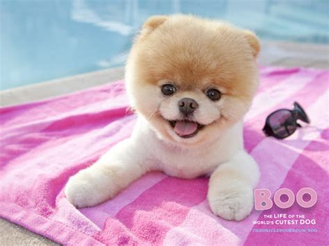 real pet dogs dogs images this is the real official worlds cutest boo thats its name im