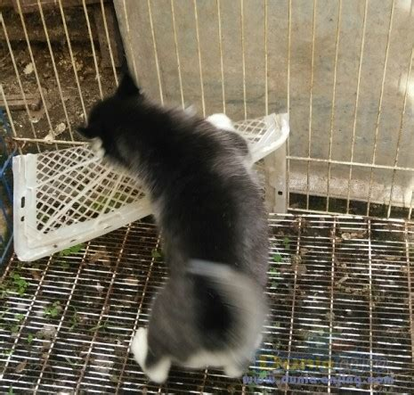 Jual Masker Mata Bandung dunia anjing jual anjing siberian husky anakan husky