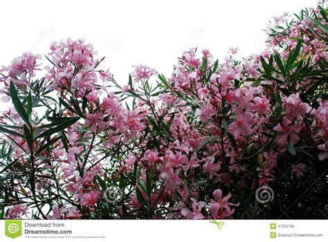 fiori a cespuglio fiori rosa fiore di grande cespuglio roma fotografia