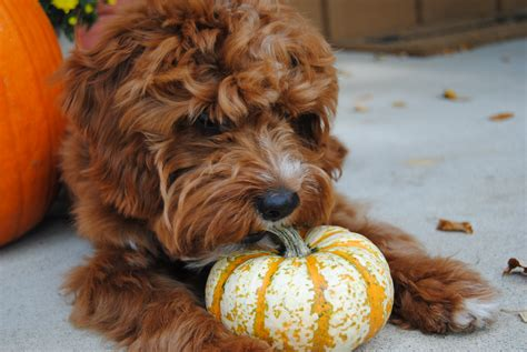 can dogs eat pumpkin seeds pumpkin for dogs can and should my pet eat pumpkin