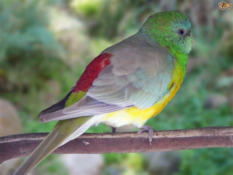 birds for sale san diego male red rump parakeet rumped parrot pets4homes