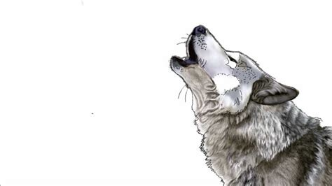 Drawing Wolf by Wolves Howling Drawings Www Pixshark Images