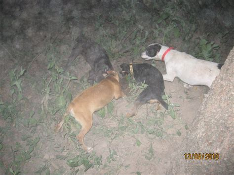 hog dogs for sale finished coon for sale newhairstylesformen2014