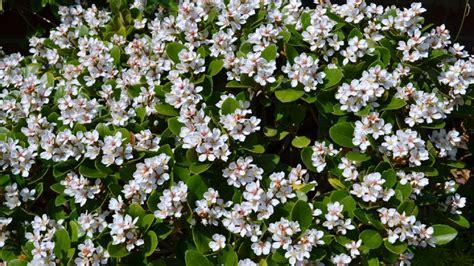raphiolepis indica oriental pearl alpine nurseries