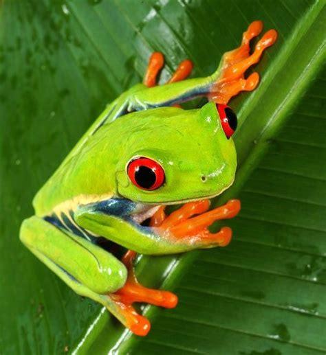 imagenes de ranitas verdes mascotapetit agalychnis callidryas o rana verde de ojos rojos