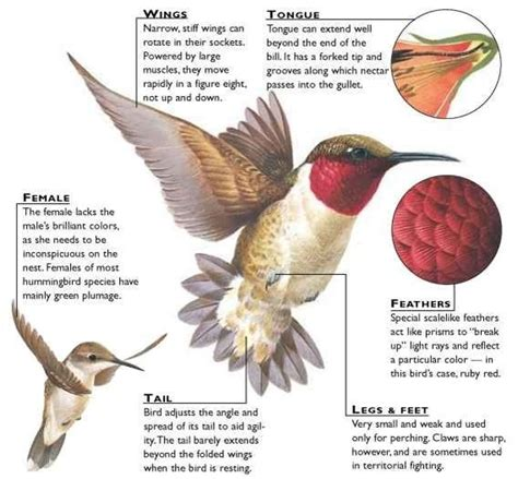 hummingbirds unit new mexico birds