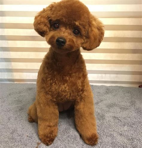 haircutsfordogs poodlemix grooming dog grooming pinterest poodle dog and animal