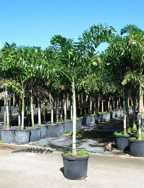 tree store florida foxtail palm tree florida coconuts store