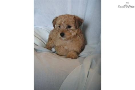 yorkie poo shedding meet a yorkiepoo yorkie poo puppy for sale for 350 adorable non shedding