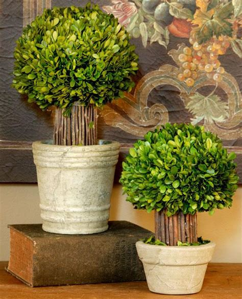 indoor topiaries small hedged boxwood topiary traditional indoor pots