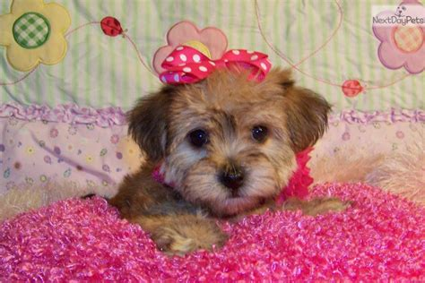 yorkie poo puppies for sale in bc yorkiepoo yorkie poo puppy for sale near st louis missouri bcddfe96 0b41