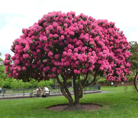 flowers for tree rododendron rhododendron tree solit 233 r in garden