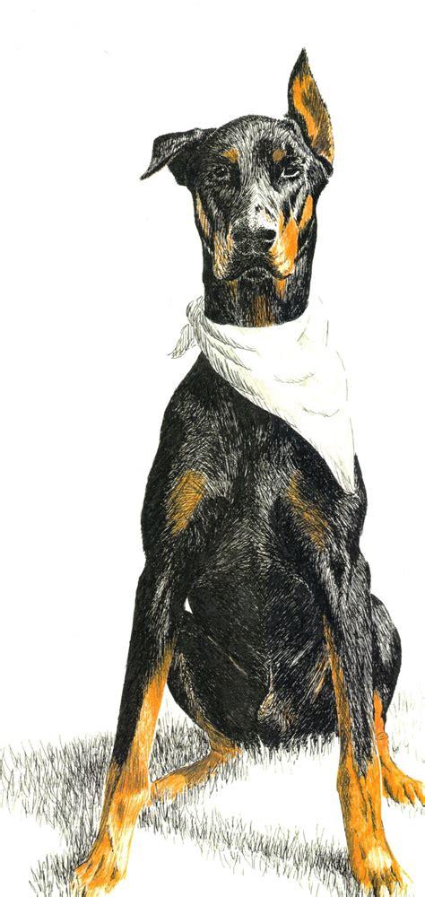 doberman commissioned drawing  ink dog art