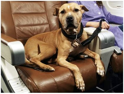 service dogs on planes luxury pet travel soars to new heights