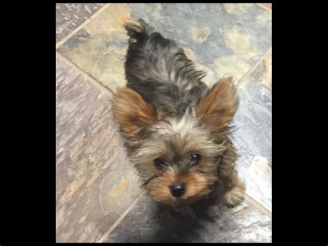 pocket yorkie pocket yorkies terrier puppies for sale
