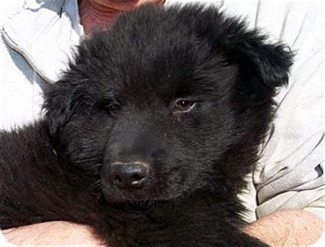 puppies for adoption in md germantown md newfoundland chow chow mix meet hudson a puppy for adoption dogs