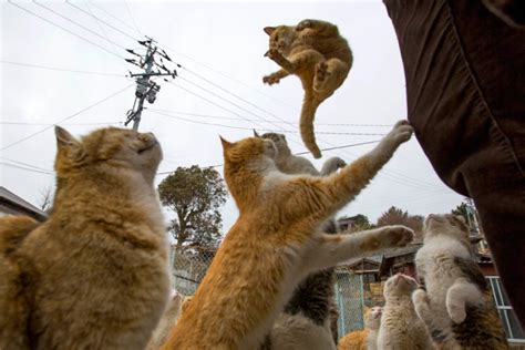 felines rule on ehime s cat island the japan times cat empire moggies outnumber humans on aoshima island in