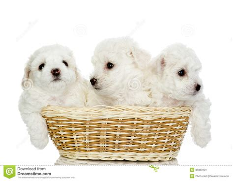 three puppies white puppies in a basket www pixshark images galleries with a bite