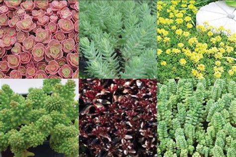 Indoor Rock Garden - sedum collections succulent rock garden plants ground covers