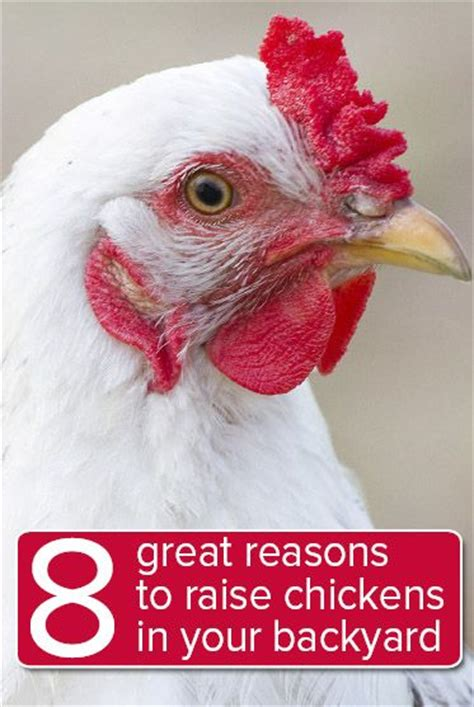how to raise chickens in your backyard 8 great reasons you should raise chickens in your backyard