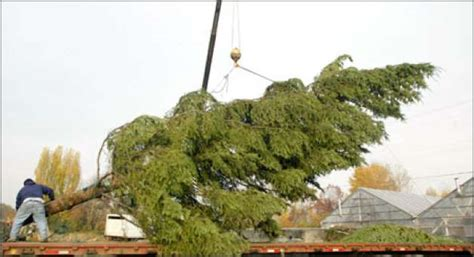 local christmas tree kent oh tree supplier delivers monsters seattlepi