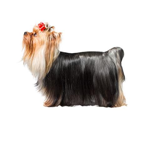 yorkie ton temperament 6 best apartment dogs american kennel club