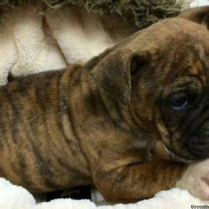bull boxer puppies bullboxer puppies puppy for sale in pennsylvania breeds picture