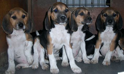 harrier puppies for sale lovely harrier beagle puppies warrington cheshire pets4homes