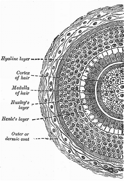 cross section of hair follicle cross section of hair follicle bruce on shaving