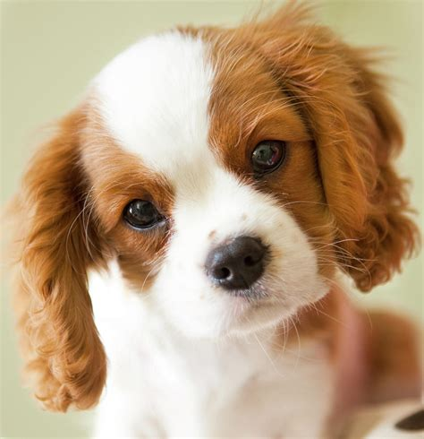king charles puppy portrait of a king charles spaniel puppy photograph by marcy maloy